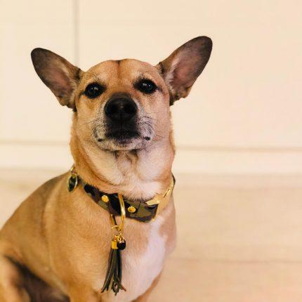 Obroża dla biszkoptowego lub rudego psa